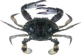 QLD East Coast Blue Swimmer Crab 2021/2022