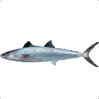 Queensland Spanish Mackerel