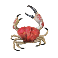 Tasmania Giant Crab