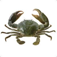 Queensland East Coast Mud Crab