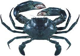 Queensland Gulf of Carpentaria Mud Crab