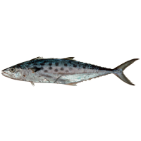 Queensland East Coast School Mackerel