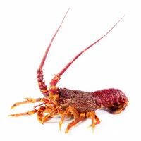 Victoria Lobster