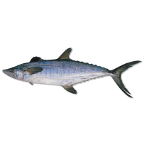 Queensland East Coast Grey Mackerel