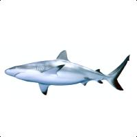 AFMA Shark