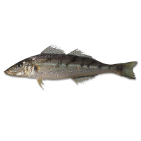 Queensland East Coast Whiting
