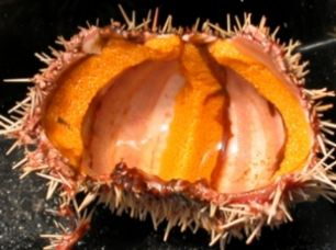New South Wales Sea Urchin