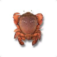 Queensland Spanner Crab