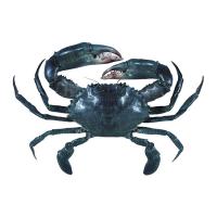 Queensland Gulf of Carpentaria Mud Crab